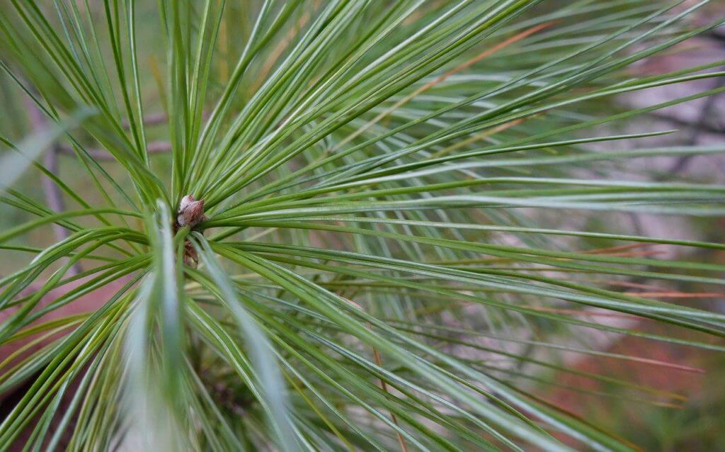 Repel insects using pointy leaves
